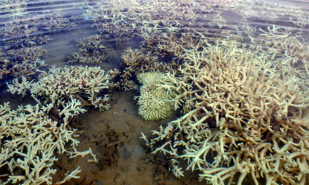 Up to 80% of corals in inshore reefs in the Kimberley were bleached in the 2016 El Niño heatwave. Photograph: Morane Le Nohaic/University of Western Australia