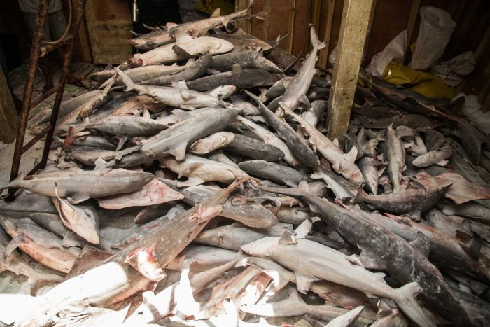Photo: Sea Shepherd says the fishing vessels were using anchored gill nets to target bottom dwelling species such as sharks. (Supplied: Jake Parker/Sea Shepherd)