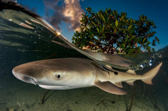 Lemon sharks spend their adolescence near mangrove trees that serve as protection from larger predators. To capture this ecosystem, Gross created an under-over, or split-shot, photo of a juvenile lemon shark.