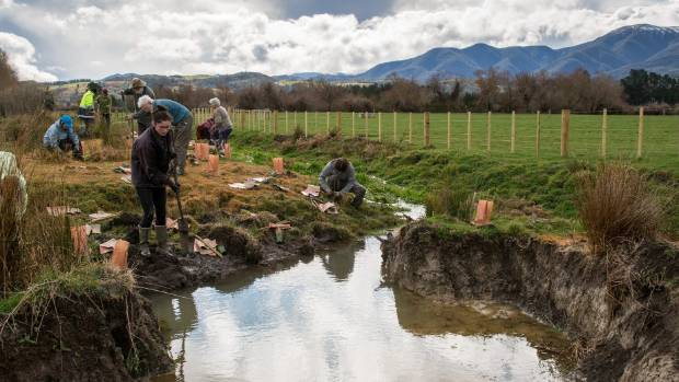 Volunteers from Forest and Bird and Working Waters Trust plant the sides of a waterway on Kent Colebrook's farm, which is one of the best breeding sites of the rare and endangered Canterbury mudfish. Photo: Tony Benny/Stuff