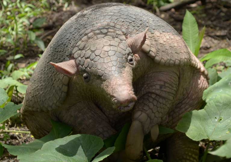 A giant armadillo (Priodontes maximus). Photo by Fernando Trujillo / IUCN