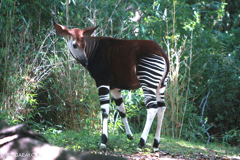 "Okapis, or ""forest giraffes,"" were unknown to the Western world until the 20th century. They are only found in the forests of the Democratic Republic of Congo. Photo by Rhett A. Butler."