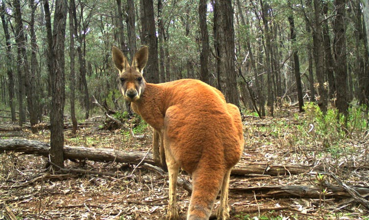 The iconic red kangaroo. Large kangaroos are typically widespread and secure, unlike many of their smaller cousins. Karl Vernes