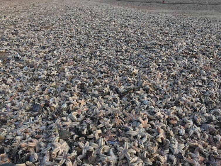 Thousands of starfish were washed up on Kent beaches. Lara Maiklem/London Mudlark