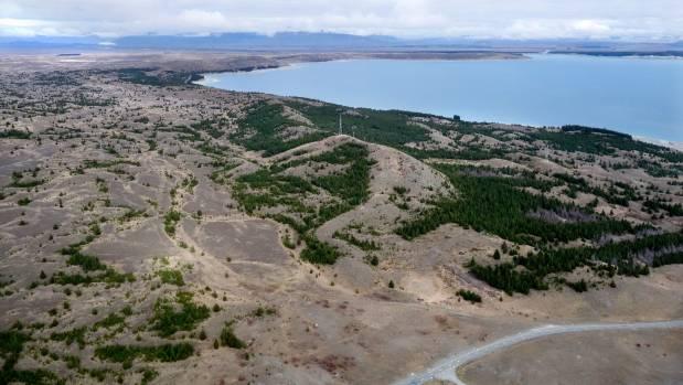 Wilding pines are changing the landscape. Wilding pines near lake Pukaki. Photo: John Bisset/Stuff