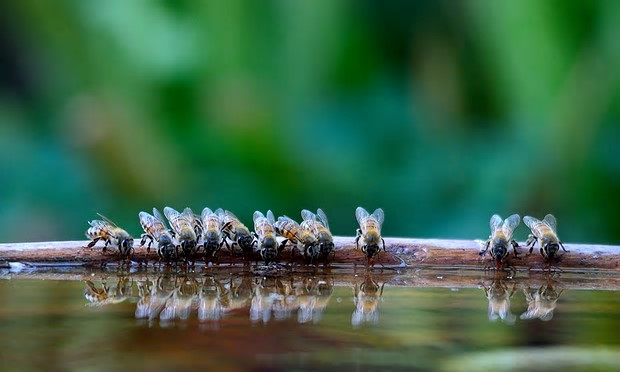 Bees drinking from a bird bath. Photograph: Derek Turner/Barcroft Media