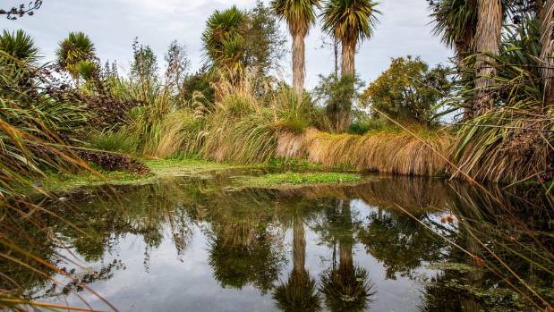 A Carex project at Five Springs, the source of Silverstream, a tributary of Lake Ellesmere/Te Waihora. Photo: Tony Benny