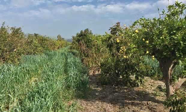 """""""What's going on with your orchard? Is that a cover crop?"""" Hip-high cover crops. Photograph: Nathaneal Johnson/Grist"""