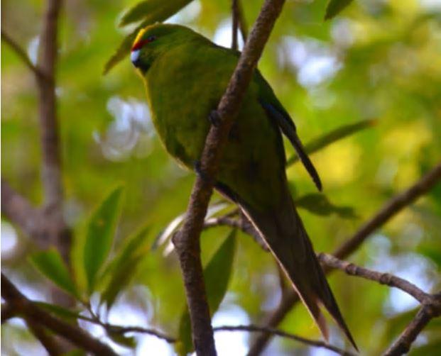 Kākāriki (yellow-crowned parakeet) numbers in the South Westland's Landsborough valley steadily increased over the last 20 years. Photo / Nir Ketraru