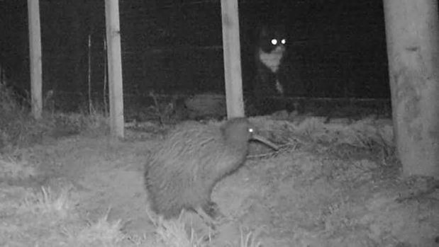 A kiwi is watched by a cat outside a predator-proof fence at Orokonui Ecosanctuary, near Dunedin. Photo: Jemima Gardiner-Rodden/Supplied