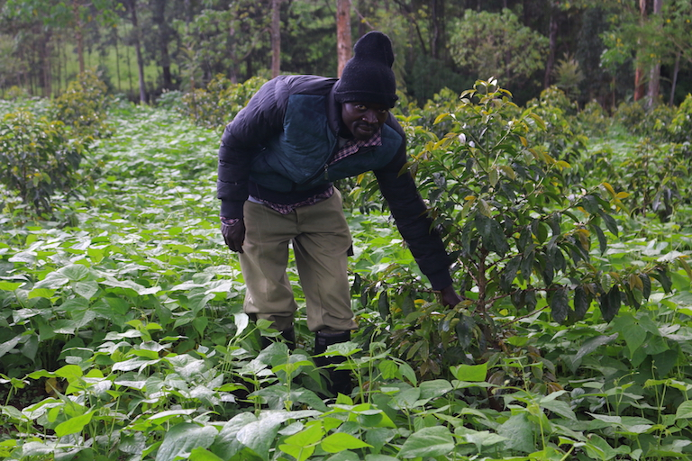 Manasseh Cheruiyot intercrops beans with coffee among taller Grevillea robusta trees. Image by Sophie Mbugua for Mongabay.