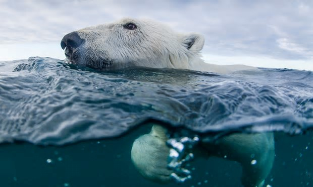 There are over 2,500 polar bears in the coastal area that includes Labrador and northern Quebec, according to Environment Canada. Photograph: Danita Delimont/Getty Images/Gallo Images