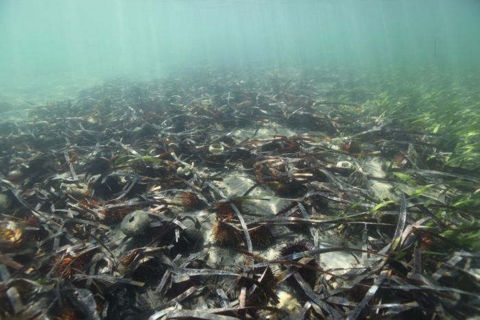 Photo: Purple-spined sea urchins have overwhelmed Corner Inlet, devouring its seagrass. (Supplied: Parks Victoria)