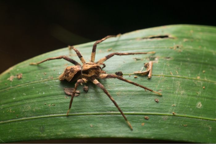 Photo: A new species of spider was discovered by QuestaGamer Ben Revell and has been named Ornodolmedes benrevelli after the gamer. (Supplied: QuestaGamer Ben Revelli)