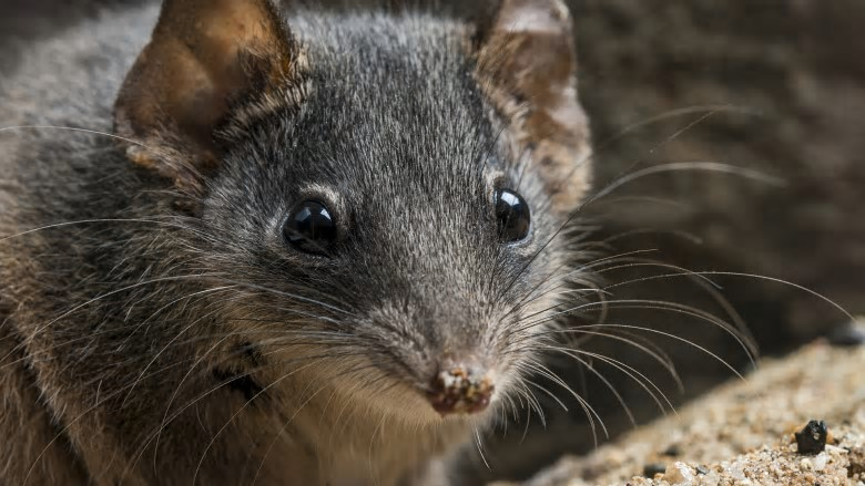 Two species of antechinus – the silver-headed and black-tailed antechinus – were added to the threatened species list last week. The small, carnivorous marsupials are best known for their reproductive habits – males die after their once-in-a-lifetime mating frenzy. Photo: Gary Cranitch, Qld Museum