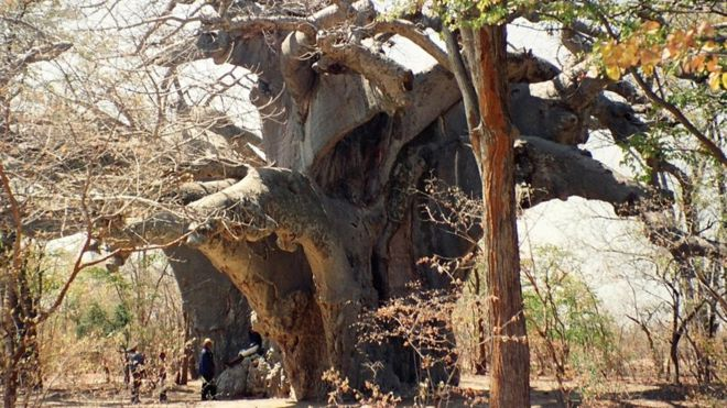 Panke, the oldest known African baobab, in 1997. The tree has since died. Jocelyn Alexander