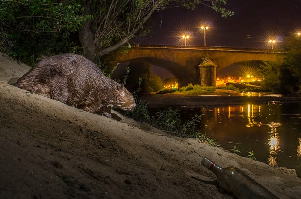 A European beaver comes out at night, France. Photograph: Geslin Laurent/Science