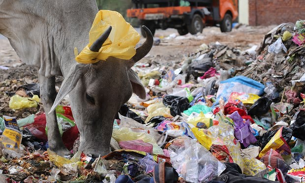 A plastic bag hangs on the horns of a cow as it sifts through rubbish for food in New Delhi, India. Photograph: Rajat Gupta/EPA
