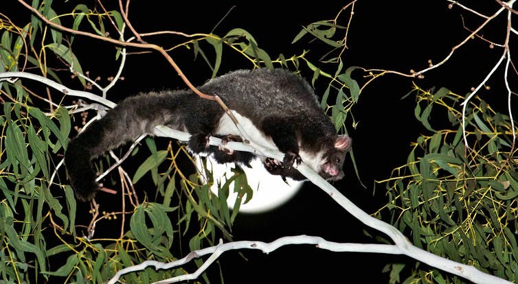Greater gliders (Petauroides volans) are vulnerable to loss of tree hollows and habitat fragmentation, which will both be exacerbated under NSW's proposals. Dave Gallan