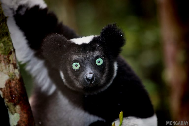 An indri (Indri indri), a critically endangered lemur that lives in Madagascar's Makira Natural Park. Image by Rhett A. Butler/Mongabay.