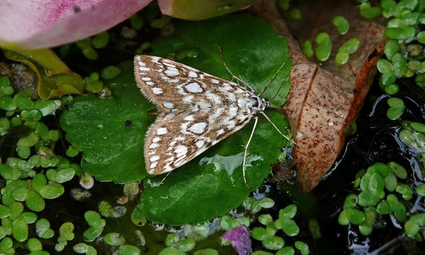The brown China-mark. Photograph: Patrick Clement/Butterfly Conservation