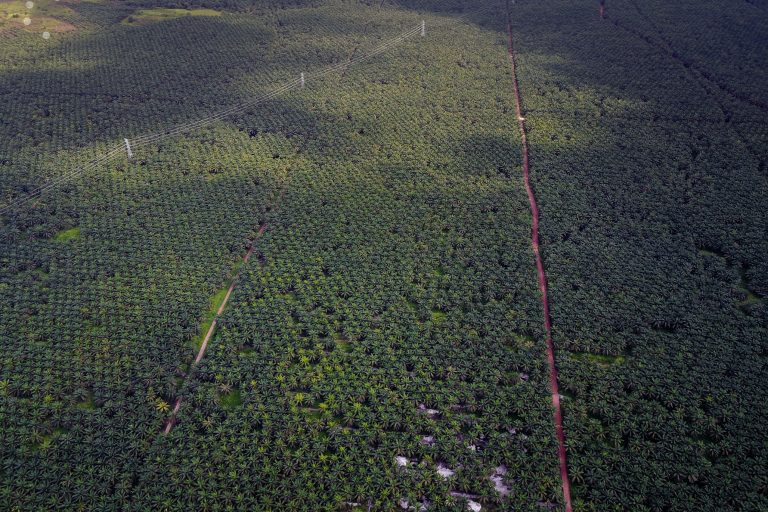 A corporate oil palm estate in Indonesian Borneo. Photo by Leo Plunkett for The Gecko Project.