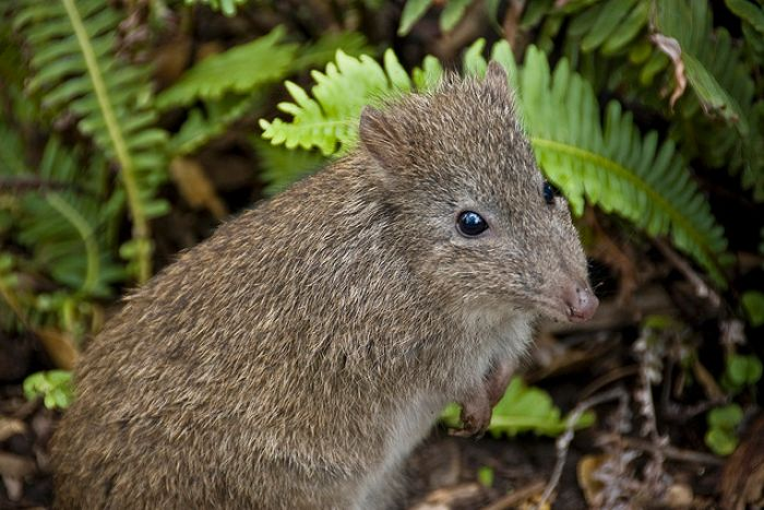 PHOTO: Several Long-nosed Potoroos have been released in the Booderee National Park on the South Coast. (Kristian Golding, Flickr.com)