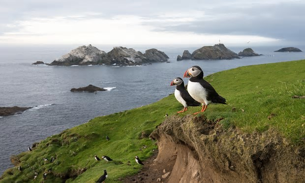 Puffin numbers on Shetland have fallen from 33,000 in early spring 2000 to 570 last year. Photograph: Alamy