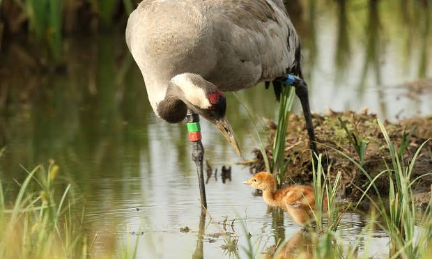 Scientists predict that there could be as many as 275 breeding pairs of common cranes within 50 years. Photograph: Mark Hughes/WWT/PA