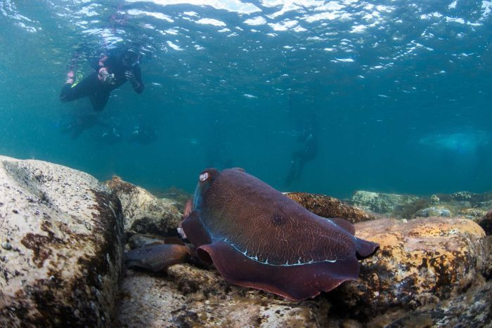 Photo: Snorkellers and divers do not have to travel far to see cuttlefish. They can be seen 3 or 4 metres offshore in shallow water. (Supplied: Carl Charter)