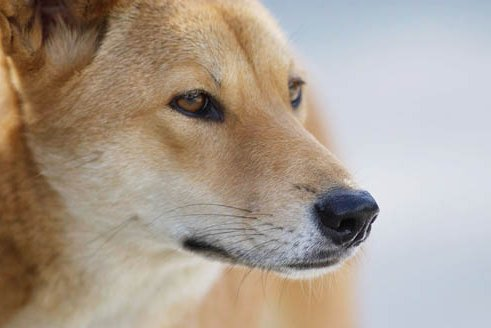 The dingo is one of the species Dja Dja Wurrung leaders want to reintroduce into areas of central Victoria. (Supplied: AAP/Tony Phillips)