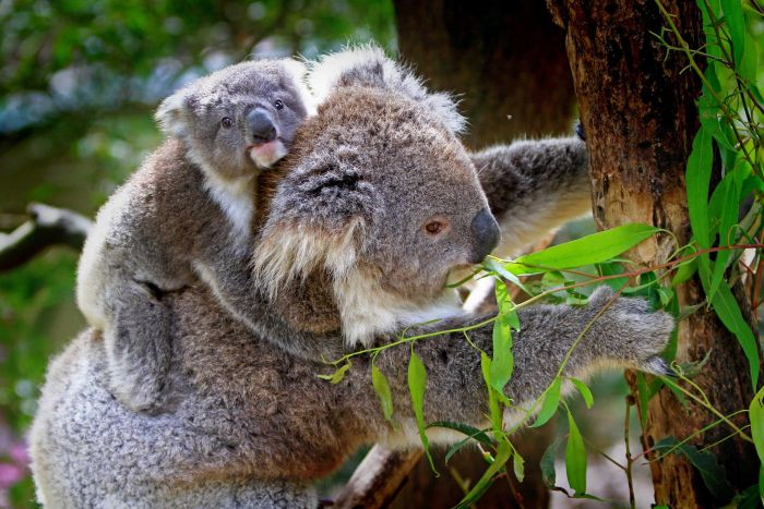 Detoxification genes enable koalas to eat eucalyptus leaves. (Pixabay)