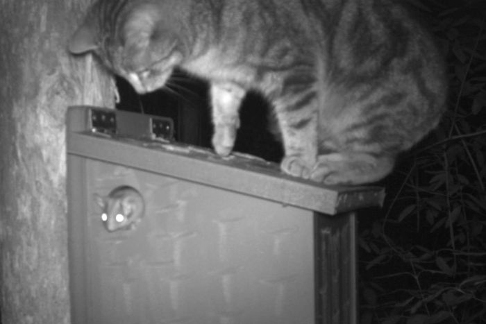 Cats haven't been considered a significant threat to the possums until now. (Supplied: University of Melbourne)