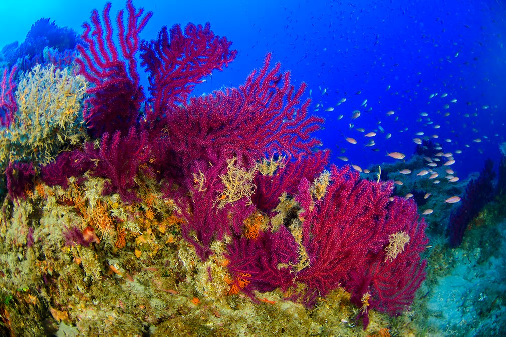 At intermediate depths, black corals full of shark eggs were filmed, as well as red coral and yellow tree corals, both of which are threatened in the Mediterranean. Seen here is red gorgonian ( Paramuricea clavata). Photograph: Juan Cuetos/Courtesy of Oceana Europe
