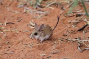 Spinifex-hopping mouse numbers have been affected by feral cats and foxes. (Supplied: Matthew Brun)