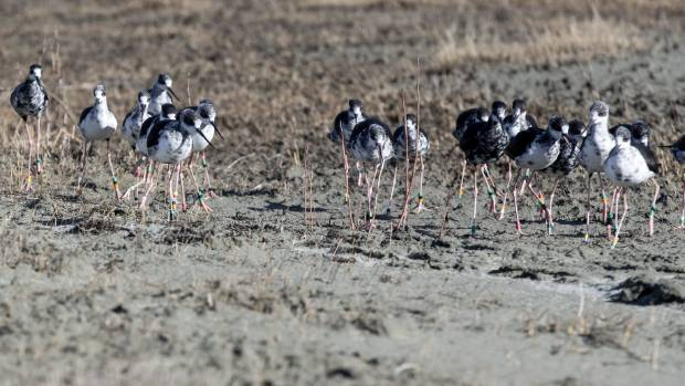 DOC Twizel operations manager Sally Jones says a top breeding season of kakī is due to the success of extensive trapping in the Tasman Valley. Photo: Doug Field/Stuff