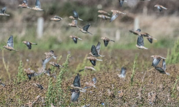 A flock of linnets feeds on linseed left after harvest at the Vile. Photograph: National Trust