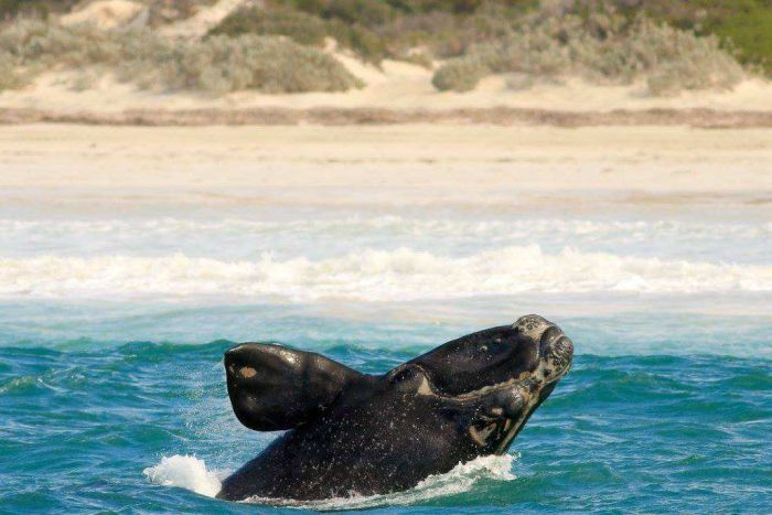 Photo: Southern right mothers and calves come within a 100 metres of Fowlers Bay's beaches. (Supplied: Rod Keogh)