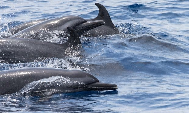 Conservation International and the University of Adelaide carried out a short survey to expand scientific knowledge of the range and abundance of whales and dolphins in the waters around Timor-Leste. Photograph: Grant Abel/Conservation International