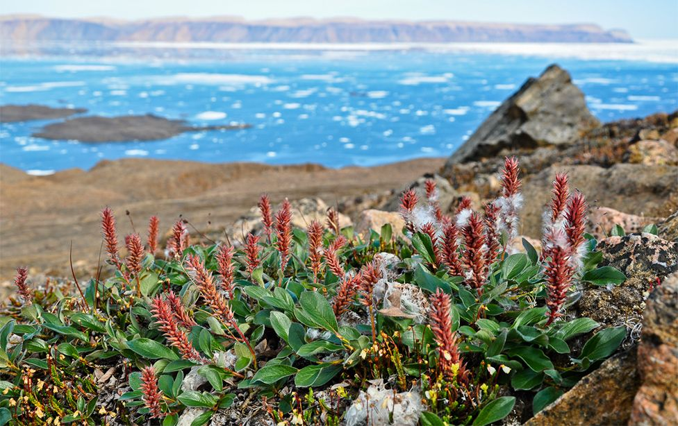 Ellesmere Island in the Canadian Arctic: Salix arctica is the dominant shrub species. Copyright Anne D. Bjorkman.