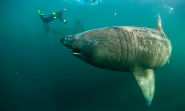 Basking sharks in Mull, Scotland. Efforts are being made to track them and help their populations recover. Photograph: Sá/Getty Images/Nature Picture Library
