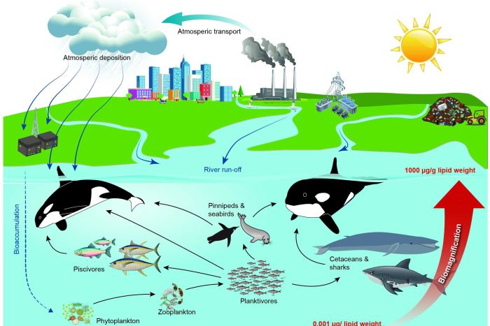 Killer whales feeding on large animals are most at threat from PCB contamination. (Supplied: Aarhus University)