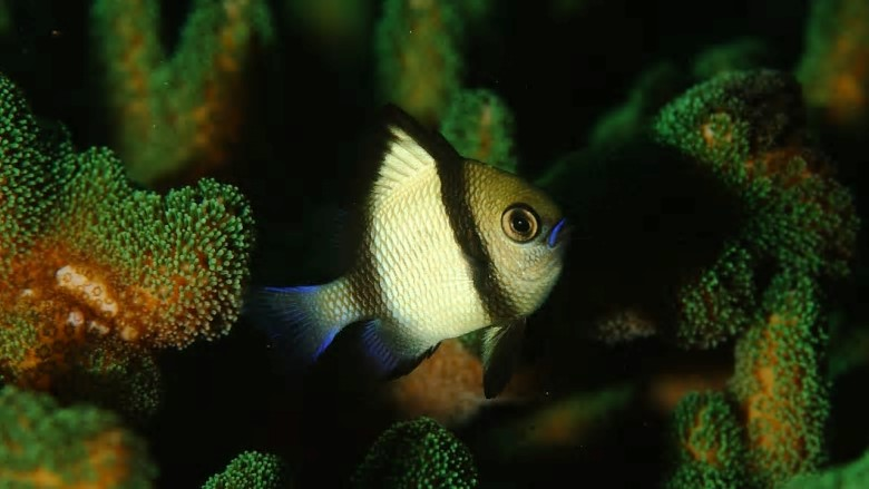 Newcomers: A headband damselfish swims amid a hard coral species now found off waters near Sydney. Photo: John Sear