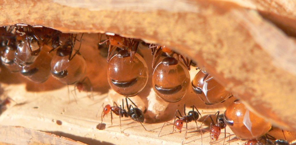 Myrmecocystus honeypot ants, showing the repletes, their abdomens swollen to store honey, above ordinary workers. Greg Hume via Wikimedia Commons, CC BY-SA