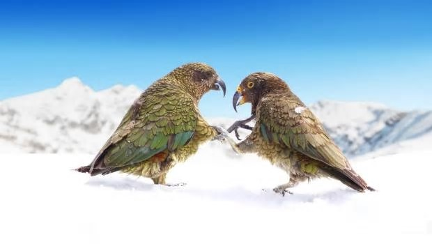 Kea, smarter than your average bird. Photo: Rob Pine