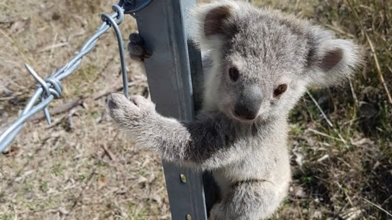 Koalas are in strife across eastern Australia, including in NSW where the WWF estimates the animal faces extinction in the state by 2050. Photo: WWF