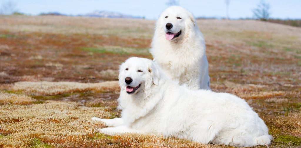 Livestock guardian dog breeds, such as Maremma, are often raised with and trained to consider themselves part of a livestock herd and so protect their herd from threats. Shutterstock