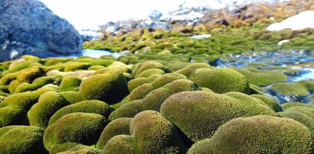 Lush moss beds in East Antarctica's Windmill Islands. Sharon Robinson, Author provided