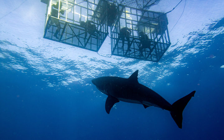 "An industry group of Paua divers say the shark cage diving companies are ""disturbing"" the sharks. Photo: 123rf"