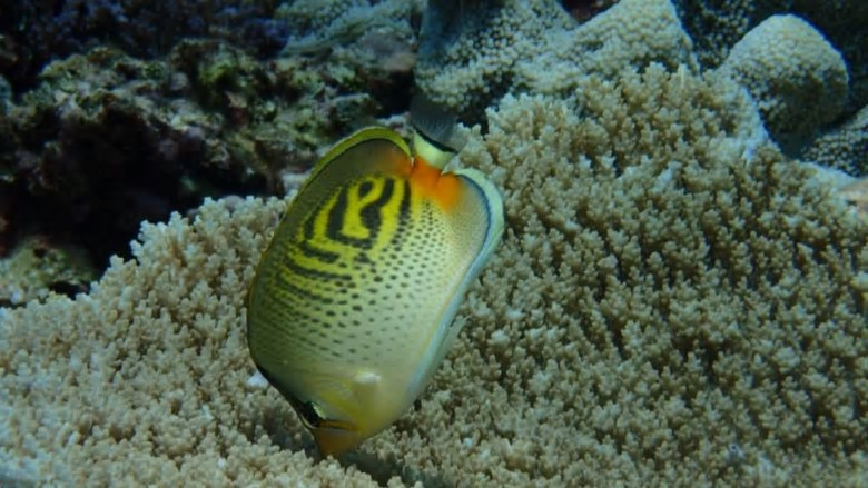 Butterflyfish lost their favourite source of food during mass coral bleachings in 2015-16, with subsequent important changes of behaviour. Credit:ARC CoE Coral Reef Studies